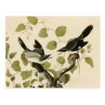 El necio Shrike de Audubon Tarjeta Postal