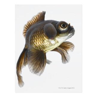 El negro amarra el goldfish (auratus del postal