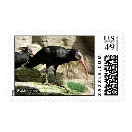 El negro de Waldrapp Ibis emplumó el sello del páj