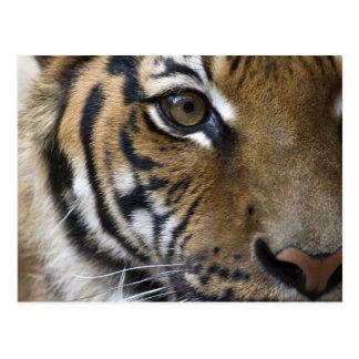 El ojo del tigre tarjeta postal