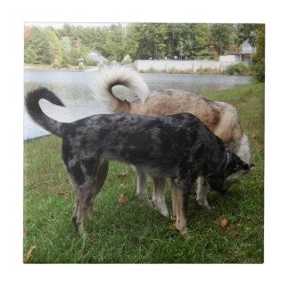 El oler del perro del leopardo de Catahoula y del Azulejos Cerámicos