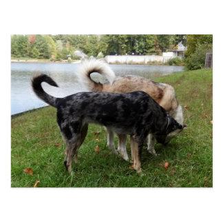 El oler del perro del leopardo de Catahoula y del Postal