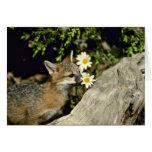 El oler Fox-joven gris/que come del equipo la flor Tarjetas