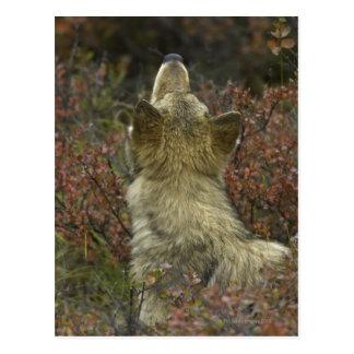 El oler joven alerta del lobo gris (lupus de tarjeta postal
