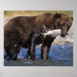 El oso de Brown, oso grizzly, con los salmones cog Impresiones