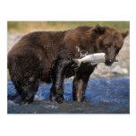 El oso de Brown, oso grizzly, con los salmones cog Postales