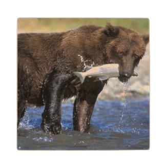 El oso de Brown oso grizzly con los salmones
