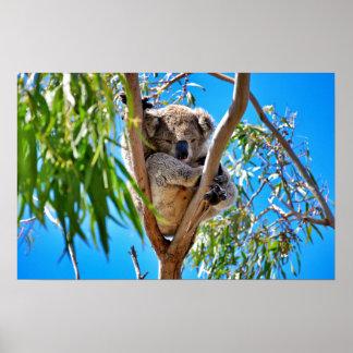 El oso de koala posters