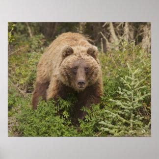 El oso grizzly ártico forrajea para las bayas 2 de posters