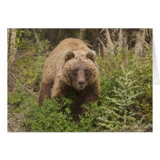 El oso grizzly ártico forrajea para las bayas 2 de tarjeta de felicitación
