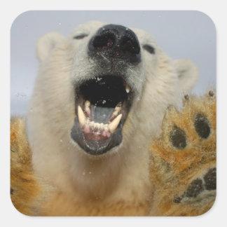 el oso polar, maritimus del Ursus, curiosamente Calcomania Cuadradas