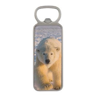 el oso polar, maritimus del Ursus, polar refiere Abrebotellas Magnético
