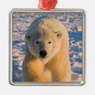 el oso polar maritimus del Ursus polar refiere e Adornos