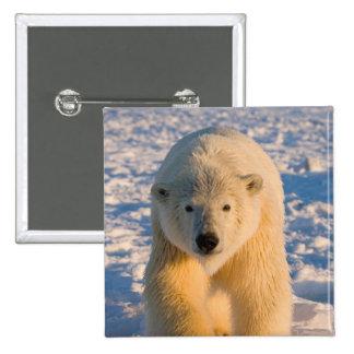 el oso polar, maritimus del Ursus, polar refiere e Pin Cuadrada 5 Cm