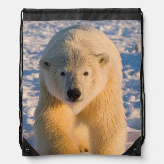 el oso polar maritimus del Ursus polar refiere e Mochilas
