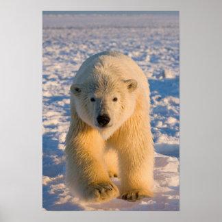 el oso polar, maritimus del Ursus, polar refiere e Póster