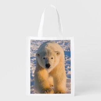 el oso polar maritimus del Ursus polar refiere e Bolsa Para La Compra