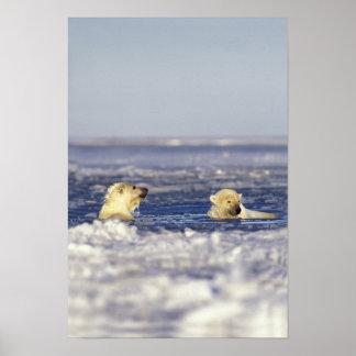 El oso polar pare jugar en el hielo de paquete del póster