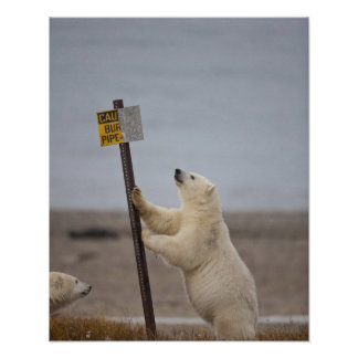 El oso polar se inclina en la muestra para el tubo póster