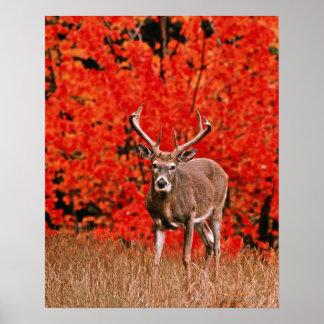 El otro nombre común: Ciervos de Virginia. Cerca d Posters