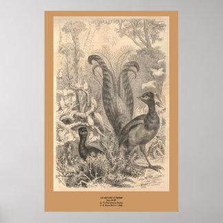 El pájaro del Lyre Póster