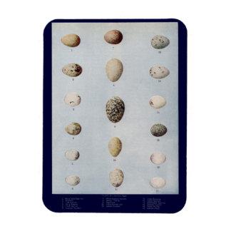 El pájaro Eggs la historia natural del vintage de  Imanes