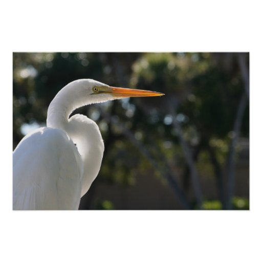 El parecer hecho excursionismo Egret blanco derech Póster