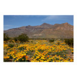 El Paso Poppies Posters