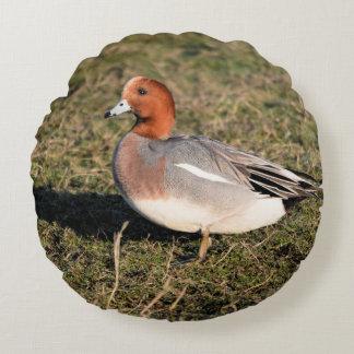 El pato eurasiático masculino del Wigeon camina en