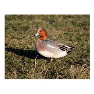 El pato eurasiático masculino del Wigeon camina en Tarjeta Postal