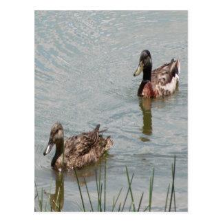 El pato silvestre Ducks la foto Postal