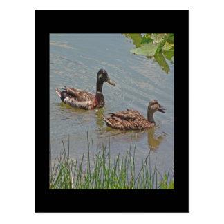 El pato silvestre Ducks la foto Tarjetas Postales