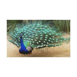 El pavo real hermoso estiró la impresión de la impresiones en lienzo estiradas
