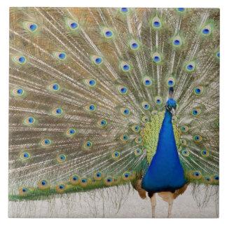 El pavo real masculino del residente aviva sus plu azulejo cuadrado grande