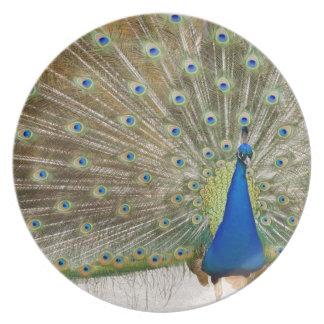 El pavo real masculino del residente aviva sus plu plato de cena