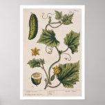 """El pepino del jardín, platea 4 """"de un herbario cur póster"""