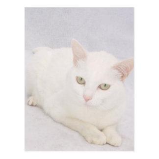 El pequeño gato blanco postales