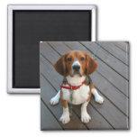El perro más lindo del beagle nunca iman de nevera