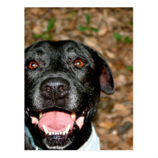 El perro negro feliz de la mezcla del laboratorio postales