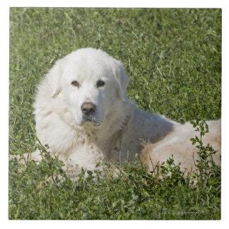 El perro pastor de Maremma en pasto actúa como Azulejo Cuadrado Grande