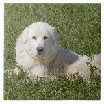 El perro pastor de Maremma en pasto actúa como gan Tejas Ceramicas