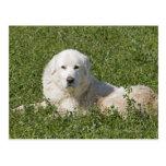 El perro pastor de Maremma en pasto actúa como gan Tarjetas Postales