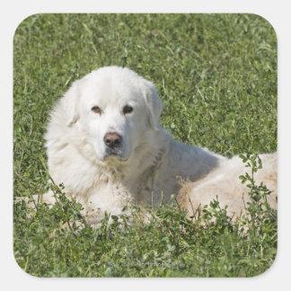 El perro pastor de Maremma en pasto actúa como Pegatina Cuadrada