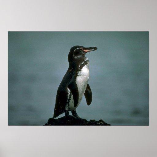 El pingüino de las Islas Galápagos en roca de la Póster
