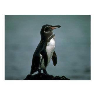 El pingüino de las Islas Galápagos en roca de la Tarjeta Postal