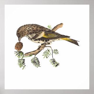 El pinzón de pino(pinus del Carduelis) Posters