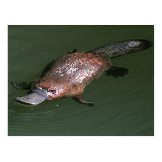 El Platypus Pato-cargado en cuenta increíble Tarjeta Postal