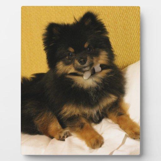 El Pomeranian más lindo Placa De Madera