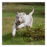 El poster blanco del tigre usted lo modifica para