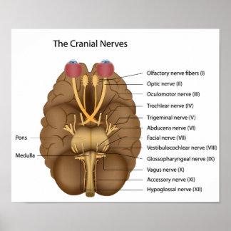 El poster de 12 nervios craneales